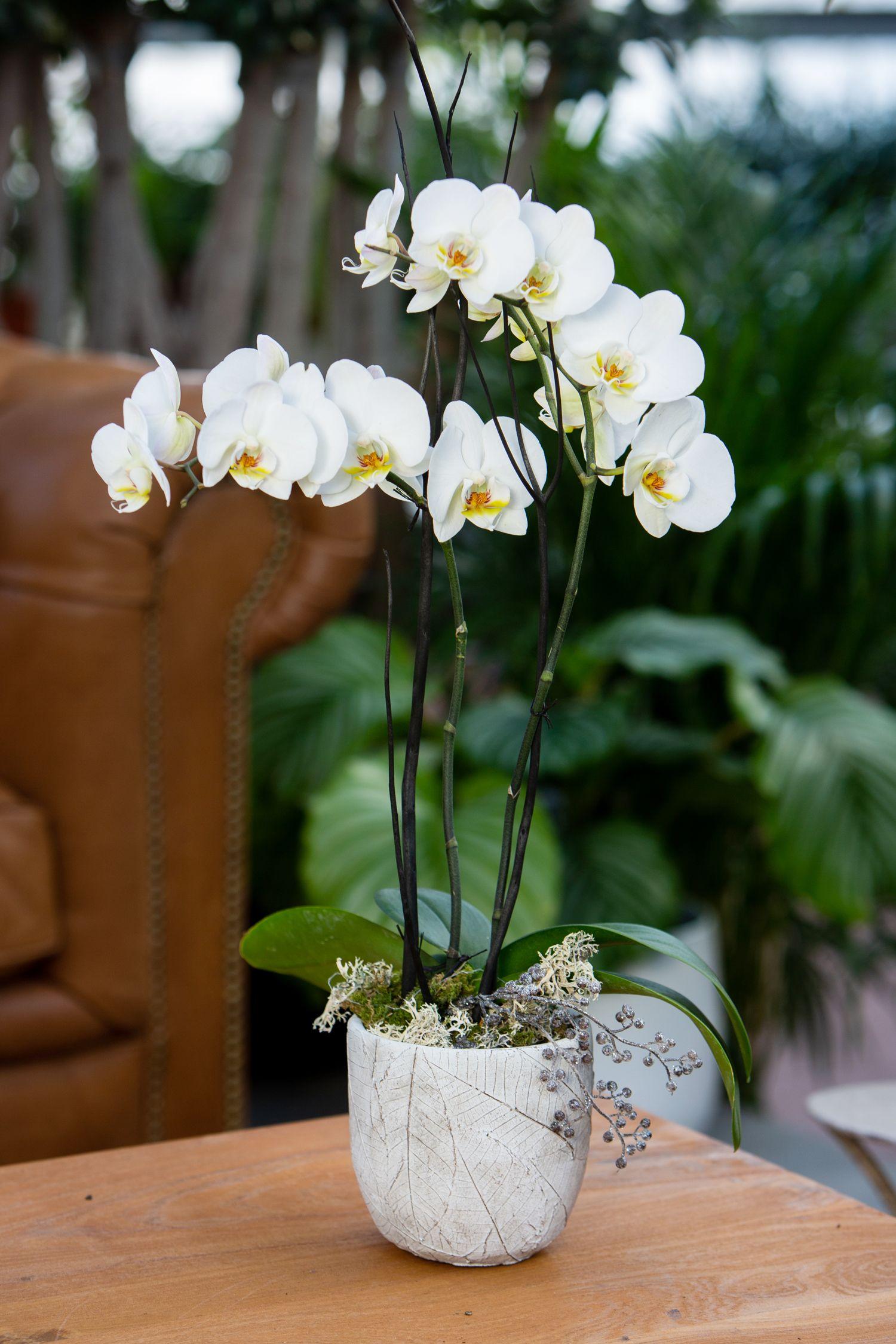 L Orchidee Phalaenopsis Plante Fleur Blanche Orchidee Blanche Photo Orchidee