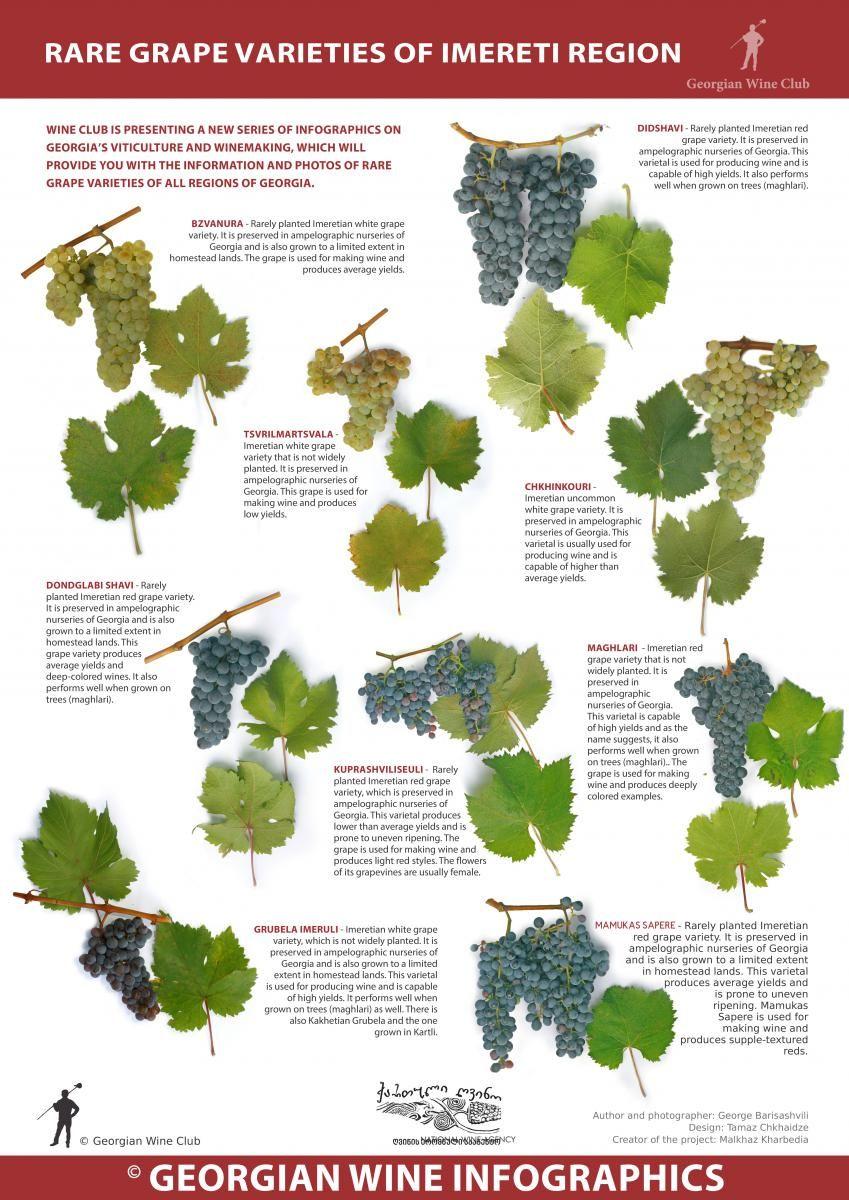 Rare grape varieties of imereti region  georgian wine infographics marani also best wset education pictures charts images rh pinterest