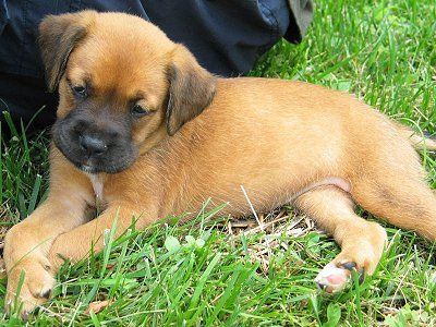 Boxador Pictures And Photos 2 Boxador Puppies Dog Breeds Pictures Puppy Pictures