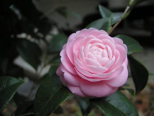 Are These Gardenias For Real Fragrant Plants Forum Gardenweb Pink Plant Fragrant Plant Trendy Plants
