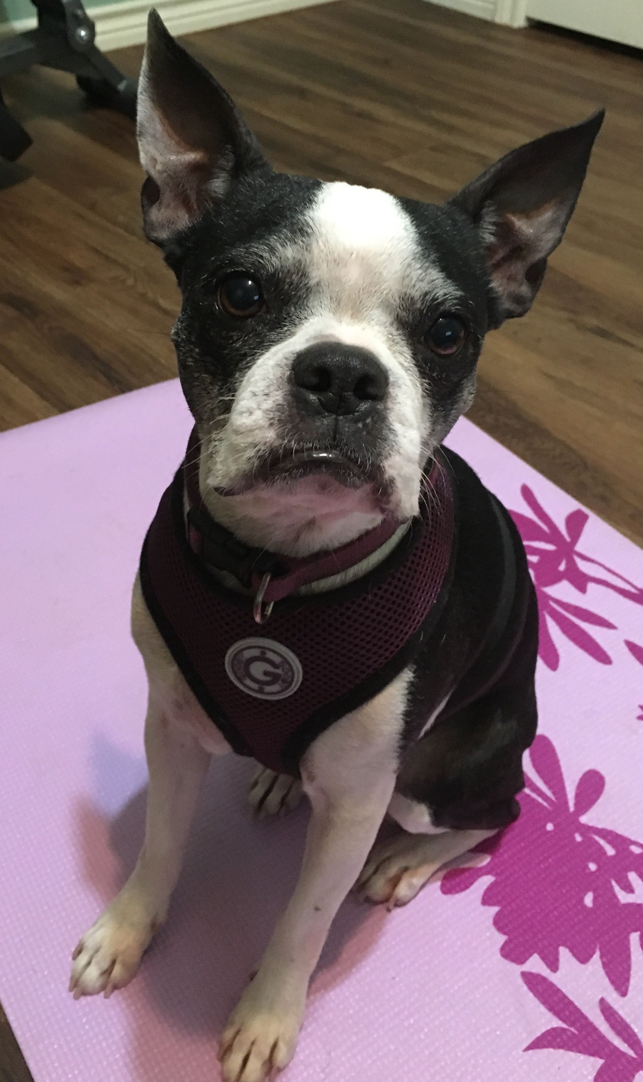 boston terrier texas boston terrier dog for adoption in little elm tx adn 1388