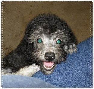 Mini Poodle Pekepoo Puppies For Sale In Ga This Handsome Silver