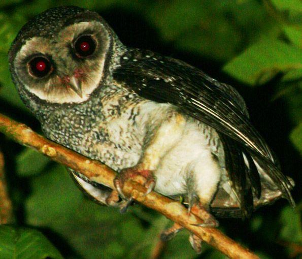 Lesser Sooty-owl (Tyto multipunctata).
