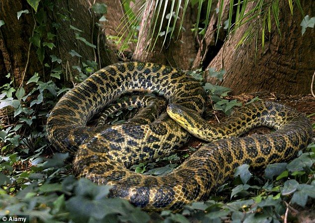Anaconda's in the Amazon can grow to 22-feet long and the non-venomous species…