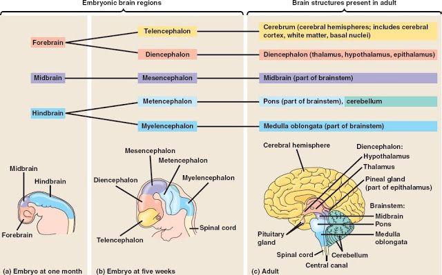trauma effects on brain development | Brain Development2 ...