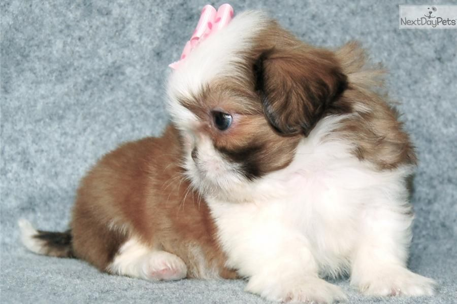 Shih Tzu Puppies Cute Shih Tzu Puppy For Sale For 650 Adorable