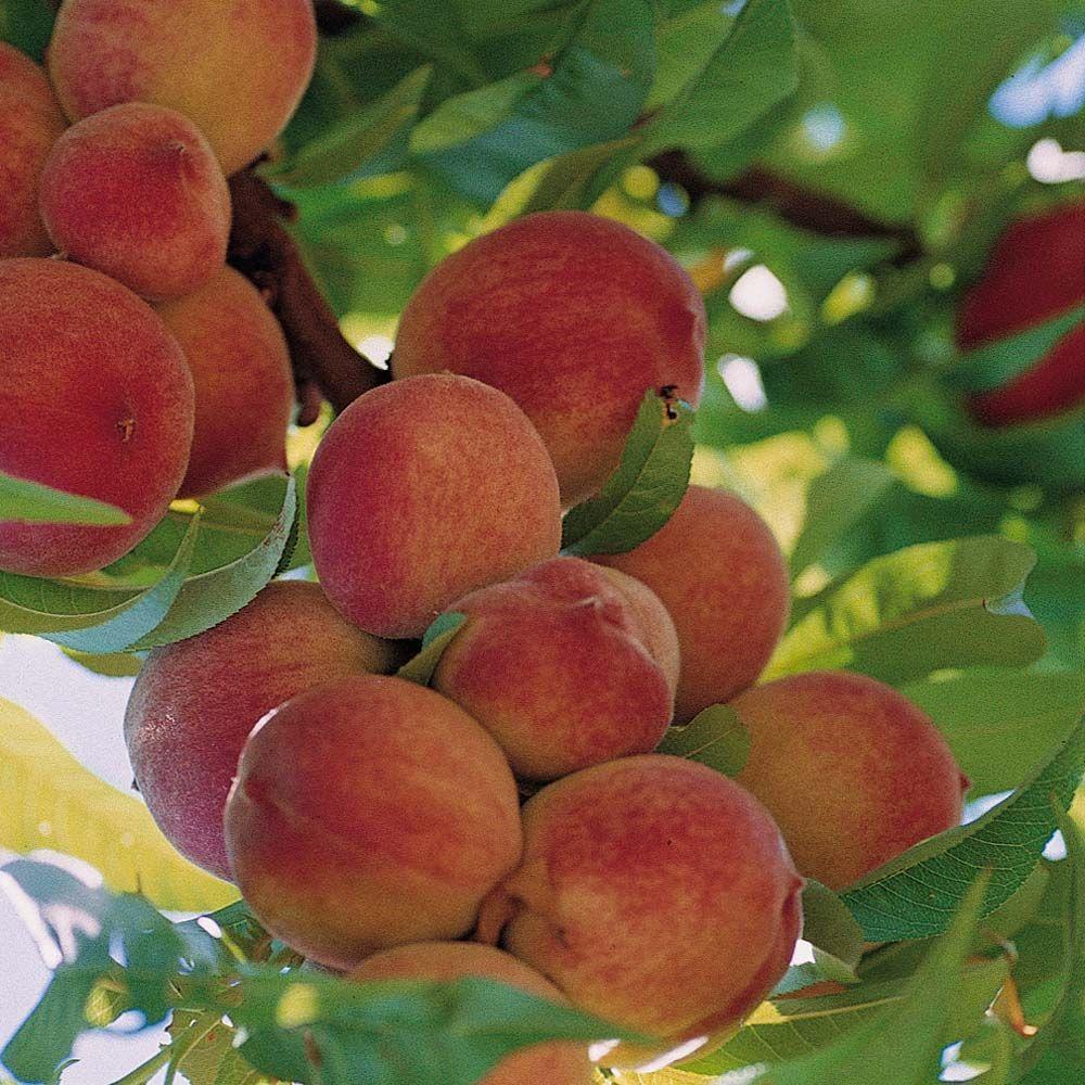 Peach Peregrine Stone Fruit Trees Thompson Morgan Fruit Trees Peach Trees Dwarf Peach Tree