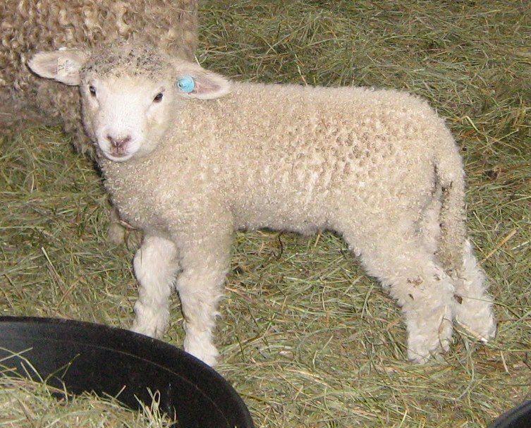 Leicester Longwool sheep