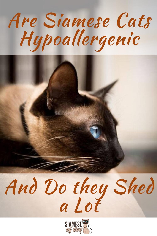 Are Siamese Cats Hypoallergenic? siameseofday Siamese