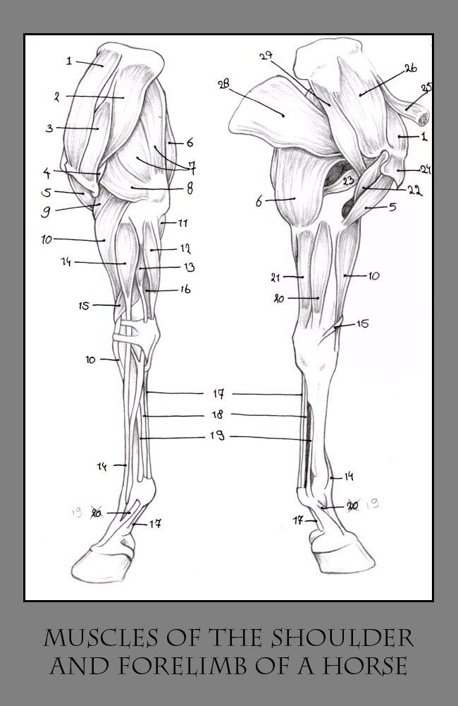 horse skeleton diagram | horse leg diagram image search results ...