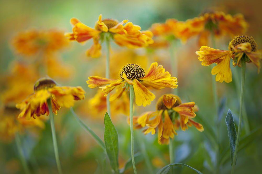 Helenium 'Sahins Early Flowerer by Jacky Parker on 500px