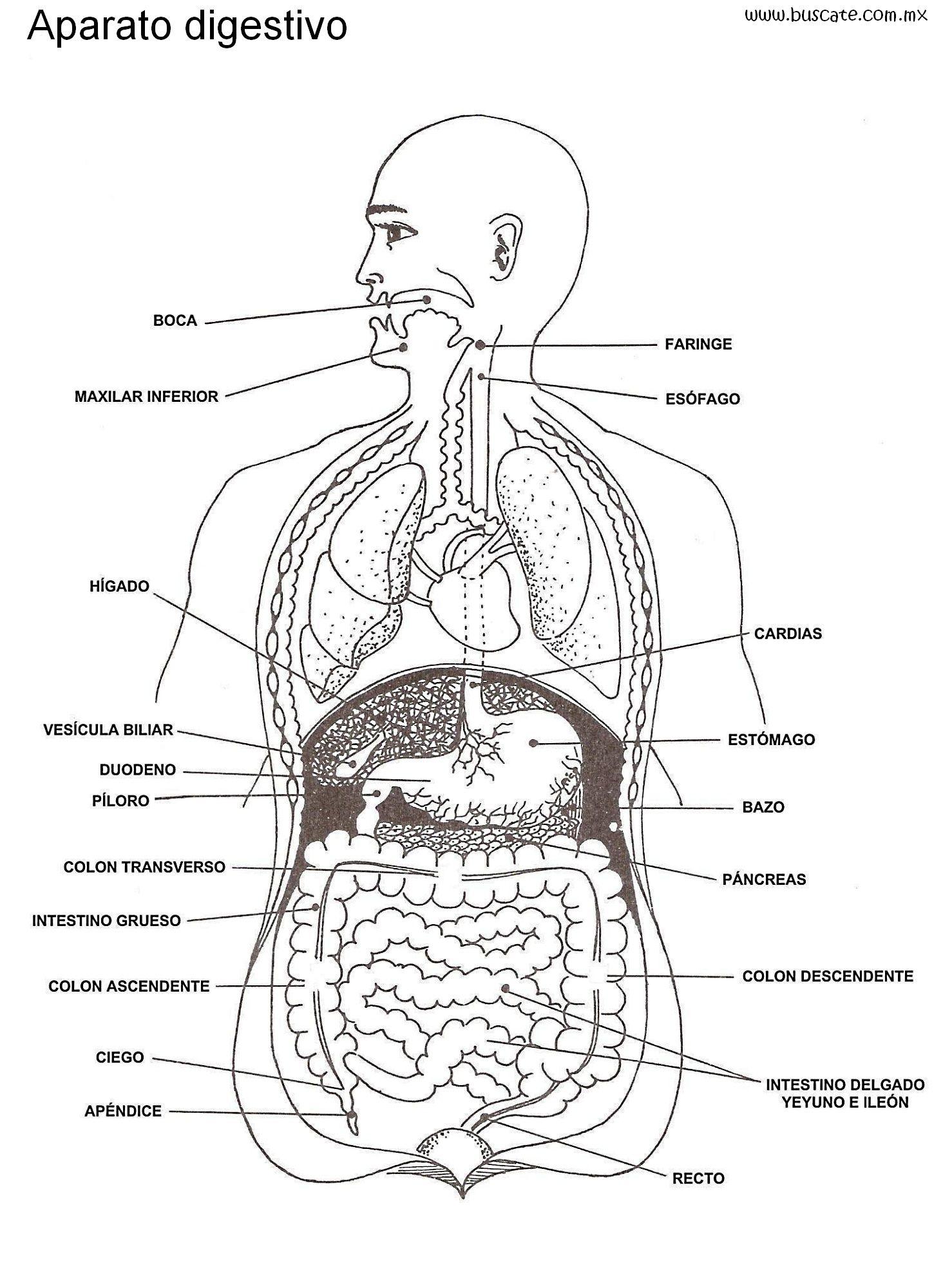 Esquema del aparato digestivo, con nombres de sus partes ...