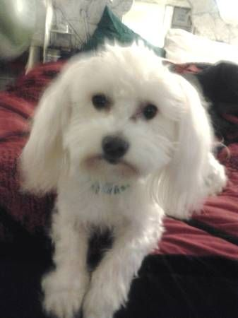 Lost White Adult Male Maltese Dog Capper Ave Near Indian Hill