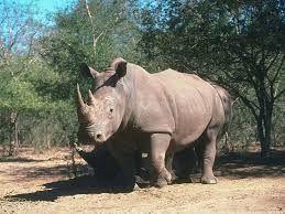 rhinoceros - Recherche Google