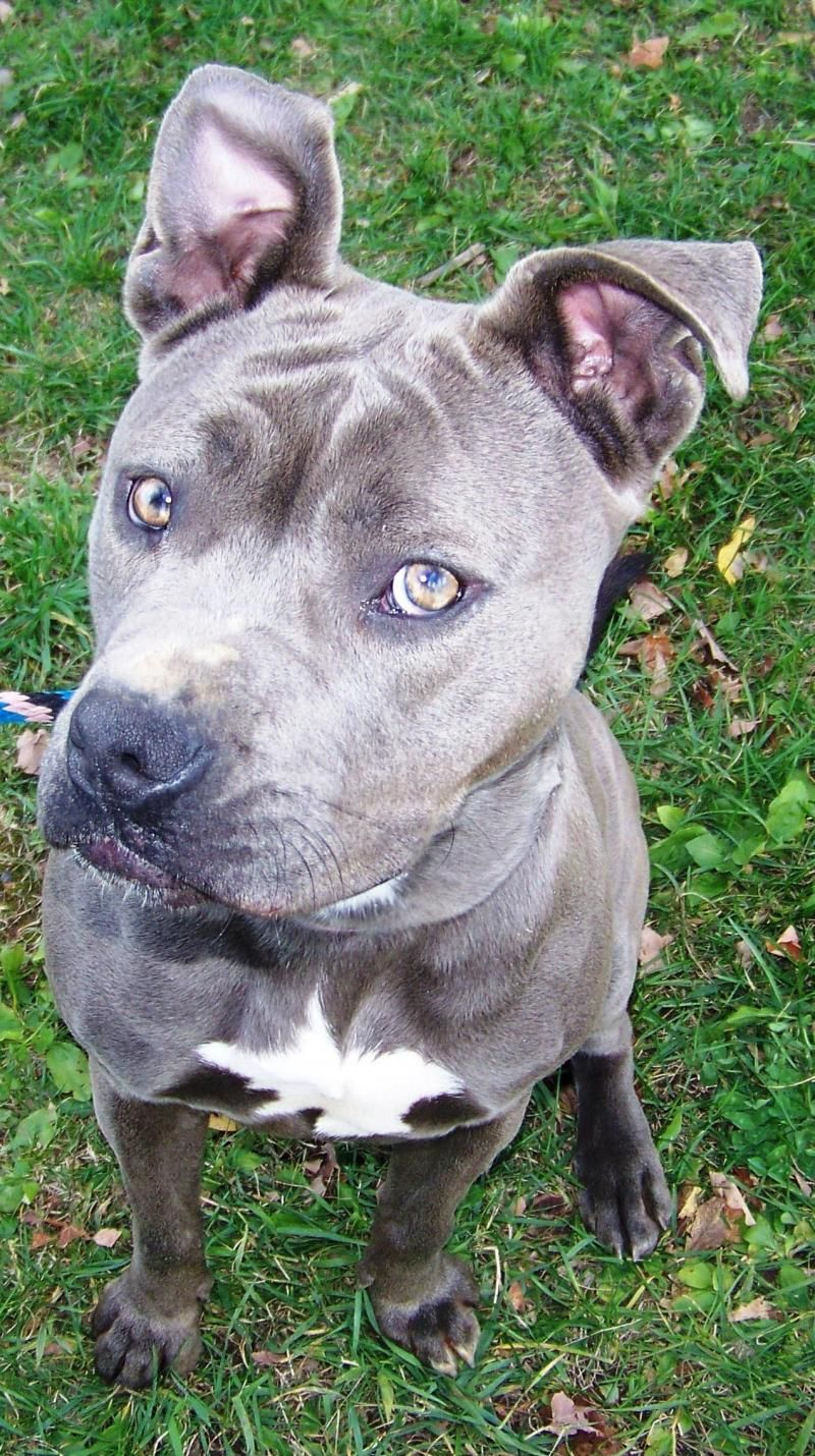 Adopt Dutchess On Dog Adoption Terrier Mix Dogs Dogs