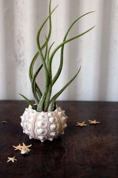 tentacle . air plant . jellyfish . tillandsia garden urchin. $20.00, via Etsy.