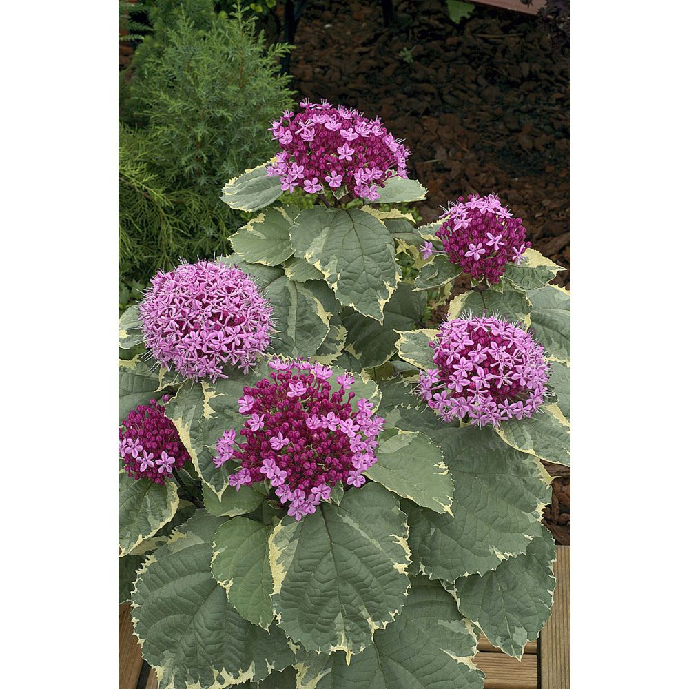 Image result for clerodendrum bungei pink diamond