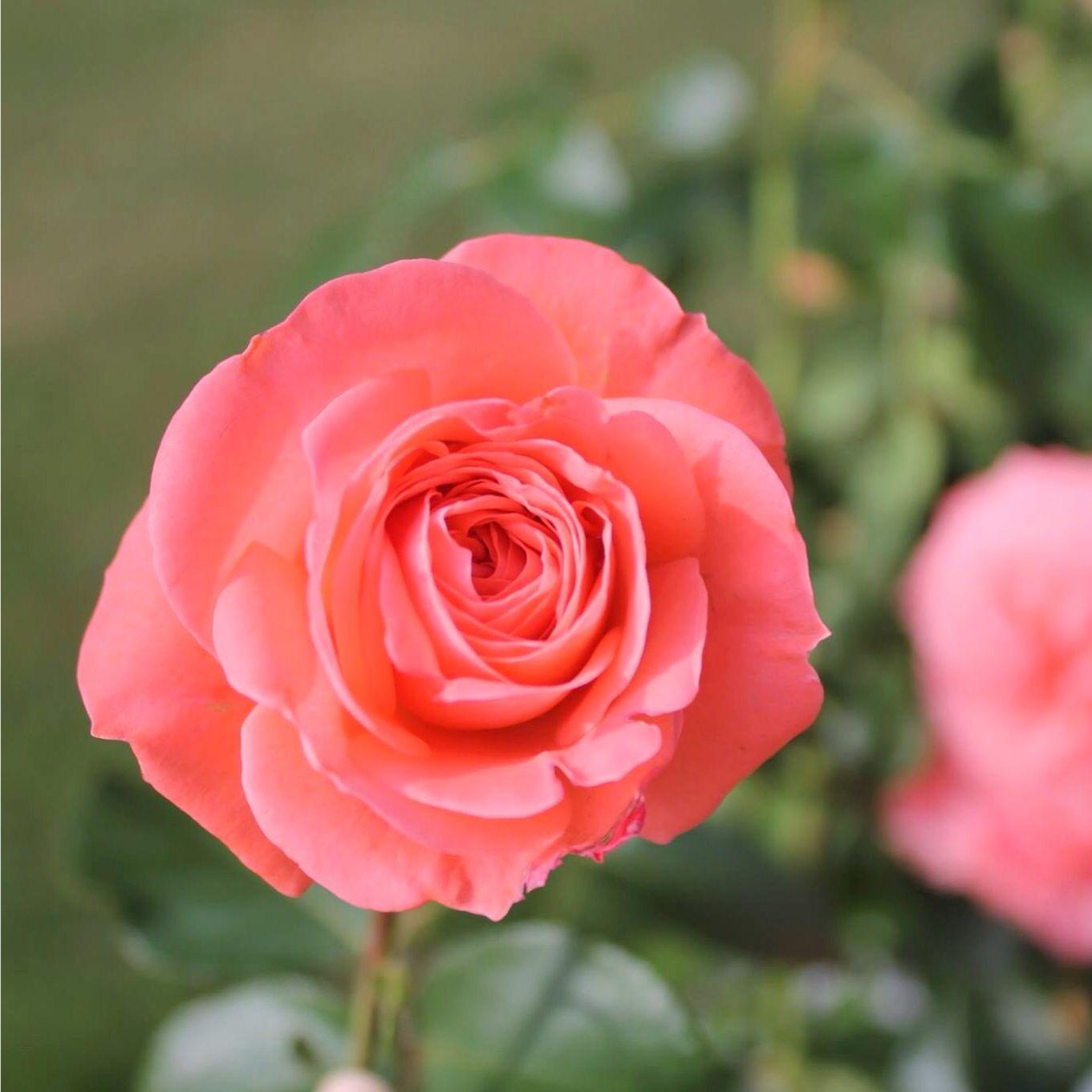 A pretty pink rose