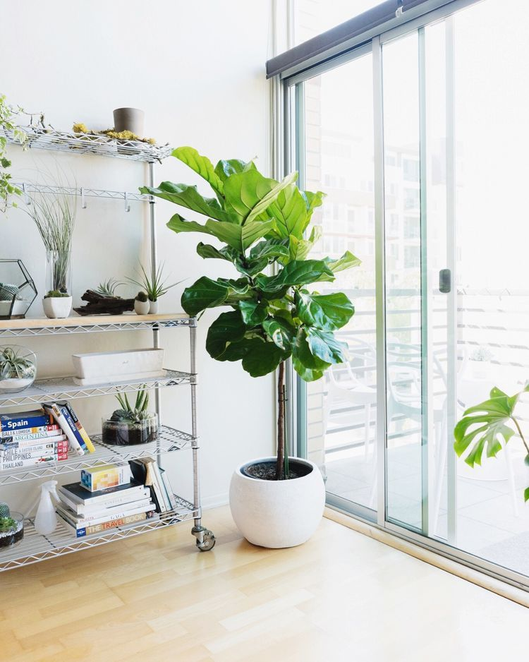 Indoor Trees That Make A Statement House Tree Plants 400 x 300