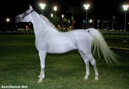 Pin By Gogo Gomaa On Horses Arabic Horse Horses Arabian Horse