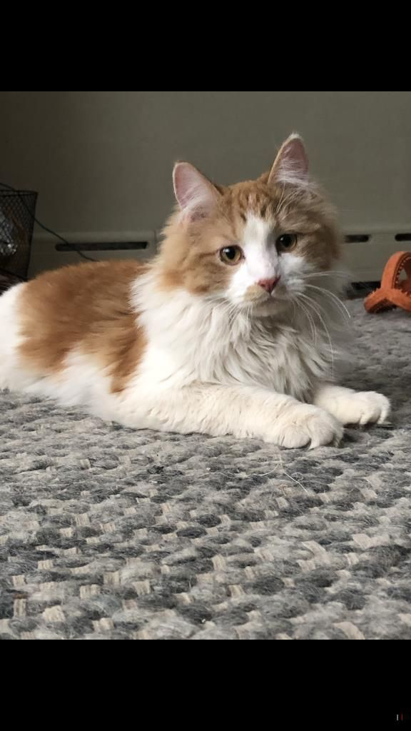 Lost Cat Male Hopkins, MN, USA 55343 Cats, Long
