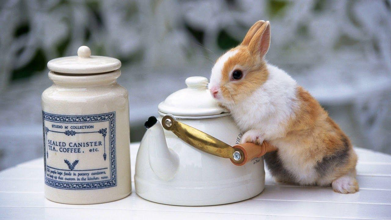 Картинка животное. Кролик, чайник, красивый кролик ...