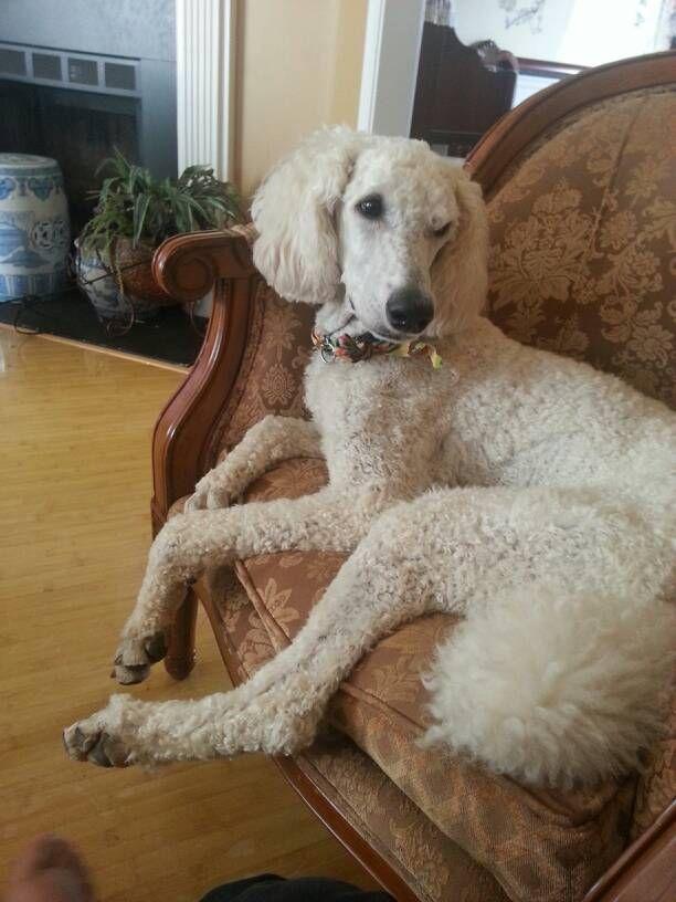 Poodle Free To Good Home Lovin Poodle Forum Standard Poodle