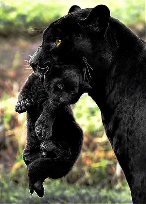 Black Panther With Baby Amazing Photo Wild Animals Pictures Animals Wild Animals Beautiful