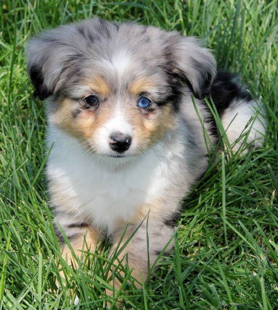 Toy Aussie Puppies For Sale In Al Az Ar Ca Co Ct De Fl Ga Id Il In