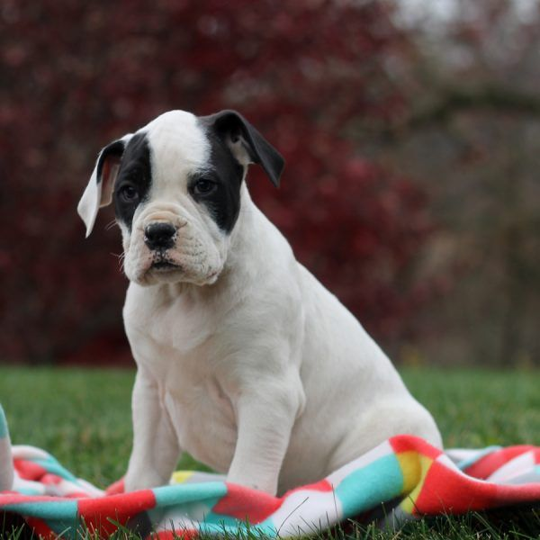 Boxer Puppies For Sale 64024