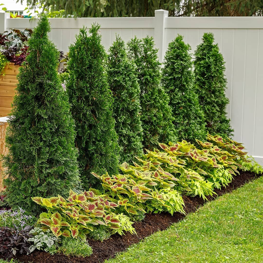 Proven Winners On Instagram A Simple Screen Of North Pole Arborvitaes Zone 3 7 And Colorblaze G Landscape Nursery Arborvitae