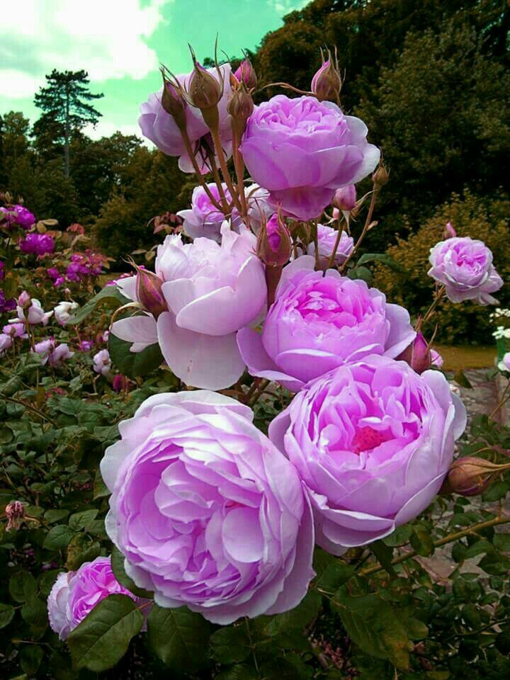Pin by krystyna szkilnik on re pinterest rose and flowers rare flowers pretty flowers english roses flower pictures flower gardening container gardening purple flower photography flower power mightylinksfo