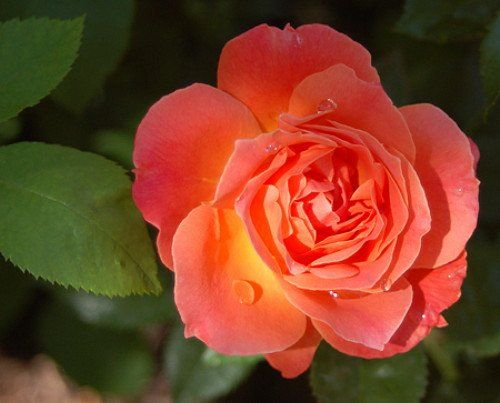 Amazon.com : U0027Livinu0027 Easyu0027 Rose Bush   Citrus Fragrance   Everblooming