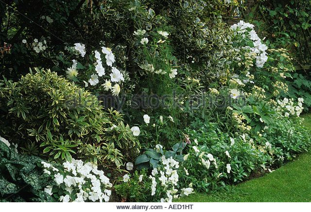 Shepheard s Lane Surrey small town garden with white flower border in summer Lavatera Impatiens Cosmos - Stock Image