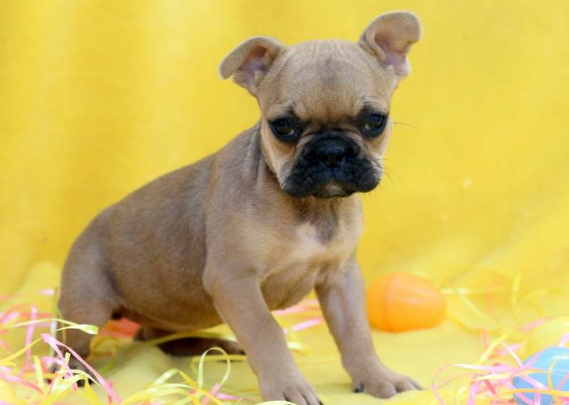 French Bulldog Puppy For Sale In Mount Joy Pa Adn 68503 On