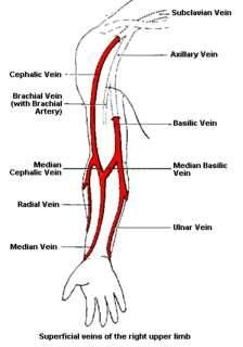 veins in arm used for venipuncture - Google Search
