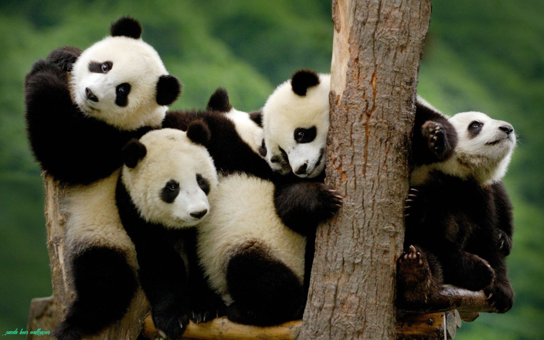 11 Common Mistakes Everyone Makes In Panda Bear Wallpaper Panda Bear Wallpaper In 2020 Panda Funny Panda Bears Wallpaper Panda Wallpapers