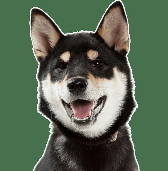 Shiba Inu Puppies For Sale Adoptapet Com Airstream Rv Rental Baton Rouge La Outdoorsy No Moment Of Silence Needed In 2020 Puppies Puppies For Sale Princess Puppies