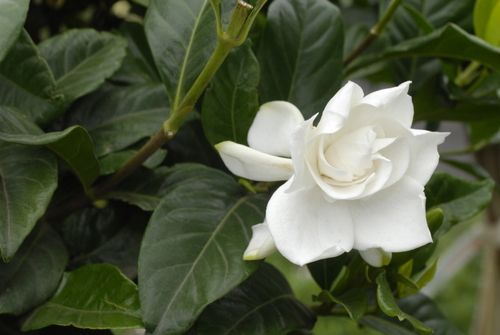 White flower fragrance image collections flower decoration ideas white flower fragrance images flower decoration ideas gardeniaaugusta005 flowers pinterest mock orange white fragrance in the mightylinksfo