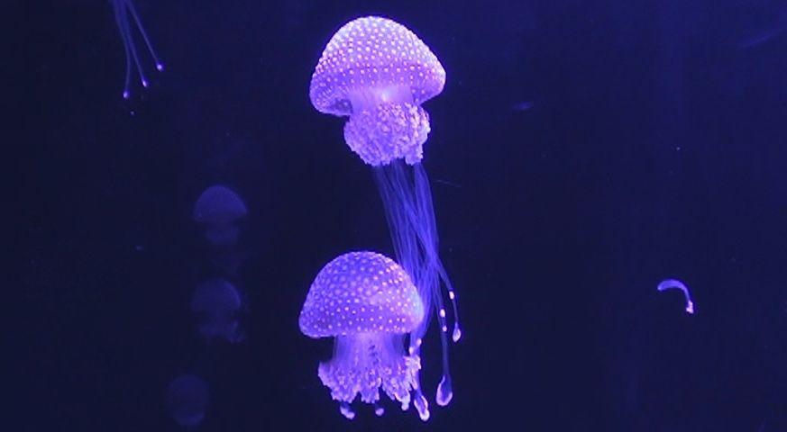 Medusas de Acuario Carso