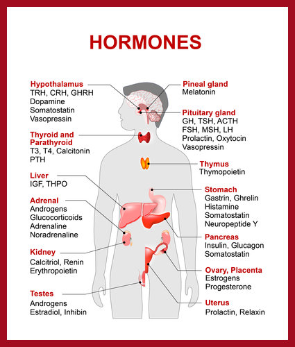 The Endocrine Systems Helps Control Hormone Balance