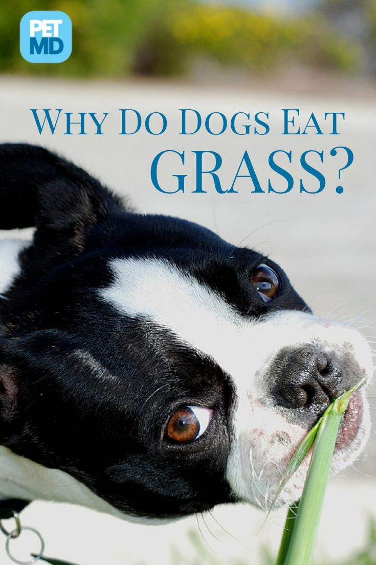 Does grass taste good to dogs? dogs health wellness