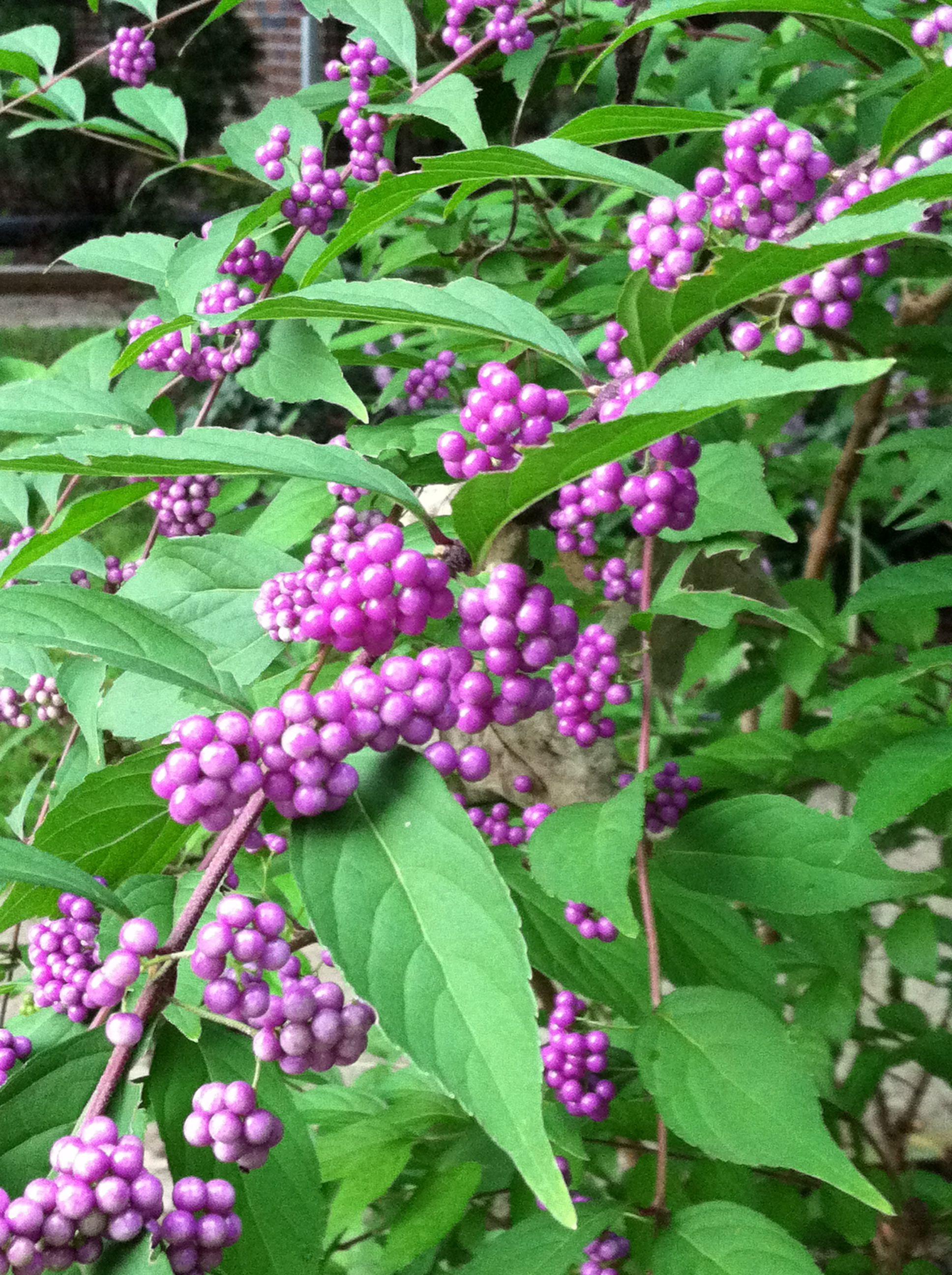 have beautyberry shrub great shrubs for zone 5 6 shrubs trees shrubs garden. Black Bedroom Furniture Sets. Home Design Ideas