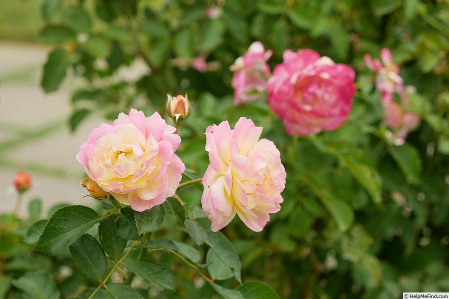 Life Of The Party Rose Smells Good Very Sweet But Not Just