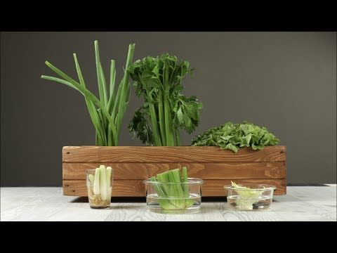 Kaum jemand weiß, dass dieses Gemüse unsterblich ist und immer wieder neu wächst. Mehr Bio geht nicht! Und nebenbei wird Geld gespart.