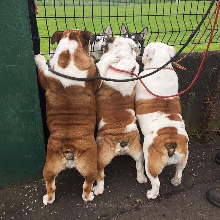 Baggy bulldogs baggybulldogs english bulldog lover