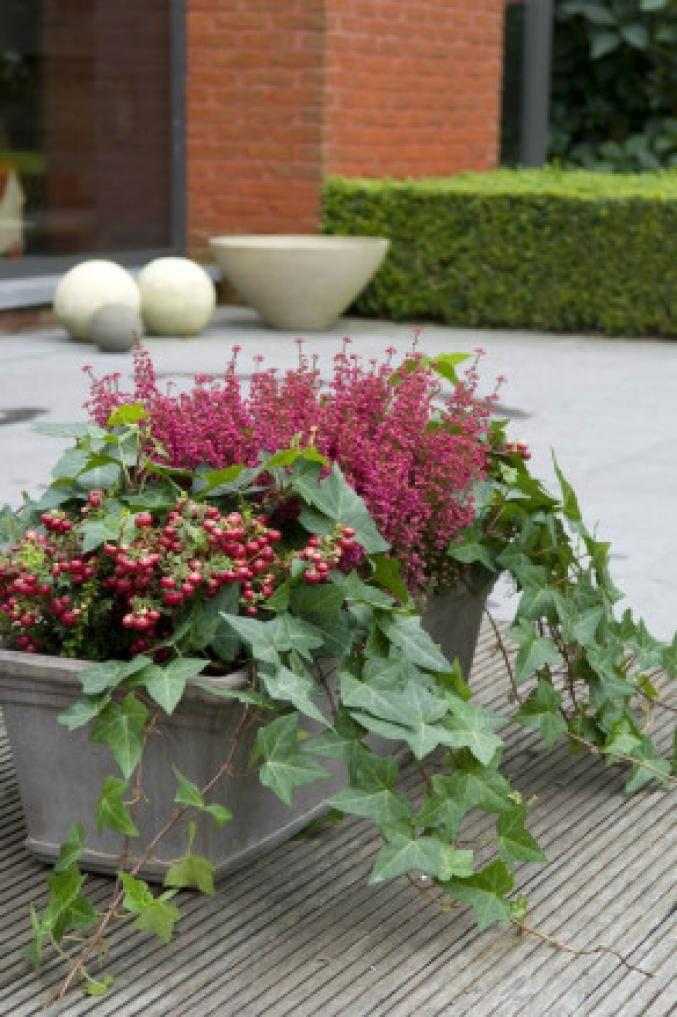 Notre top 7 des plantes d'hiver Gauthéria,Lierre et