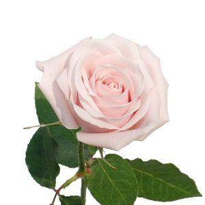 Candy Bianca Light Pink Rose Light Pink Rose Pale Pink Roses Rose Bridal Bouquet