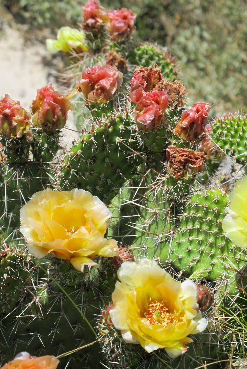 Prickly Pear Cactus, Badlands, 6-21-14   Pear cactus ...