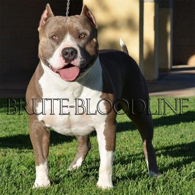 Xl Blue Nose Bully Style Pitbull Tri Color Producer Brute